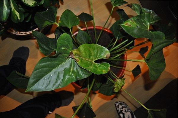 Чому листя антуріума жовтіють та з'являються коричневі плями