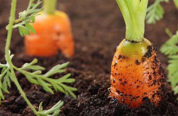 Посадка моркви, терміни, який місяць