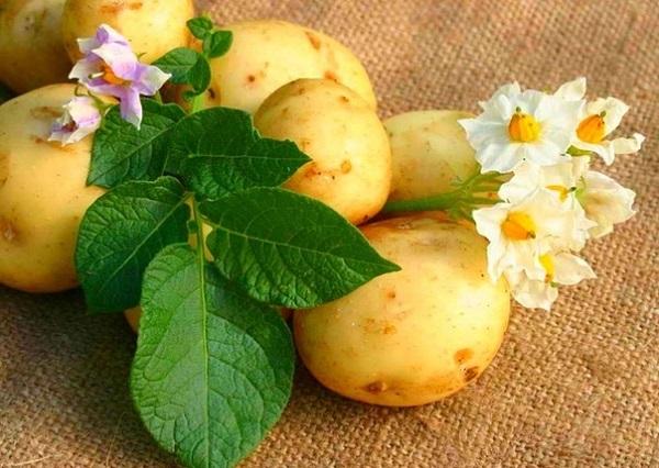Картопля, посадка картоплі 2016