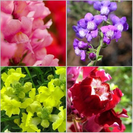 Квітка Левиний зів - посадка і догляд