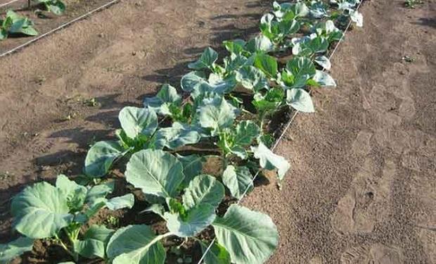 Вирощування брокколі у відкритому грунті