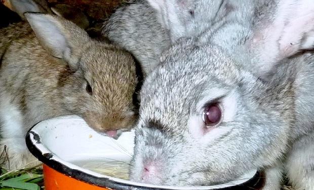 Яку воду давати кроликам?