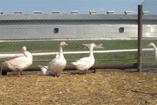 Ознаки неправильного годування гусей