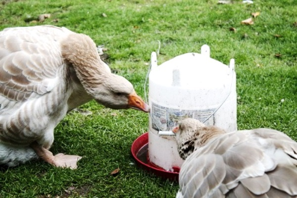 Харчування і норми для гусей