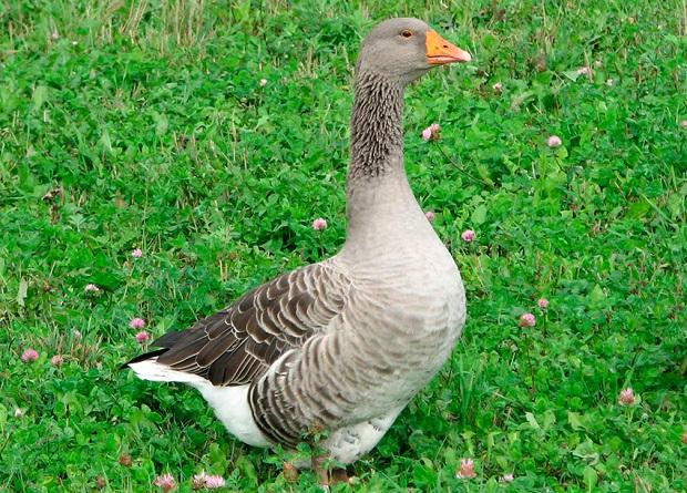 Великі сірі гуси