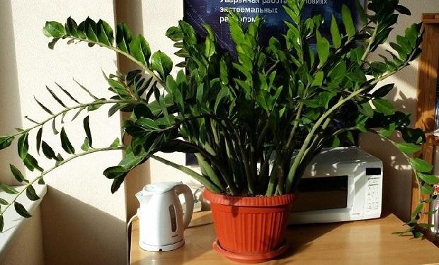 Заміокулькас - стильна сучасна квітка