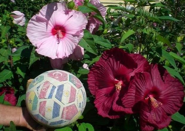 Квіти гібіскуса величезні
