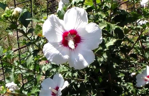 Сирійський гібіскус, або садовий - невибаглива і приваблива рослина