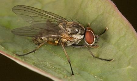 Виглядає цибулева муха як звичайна кімнатна