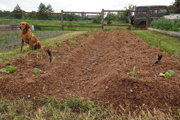 Посадка моркви восени - коли і як садити