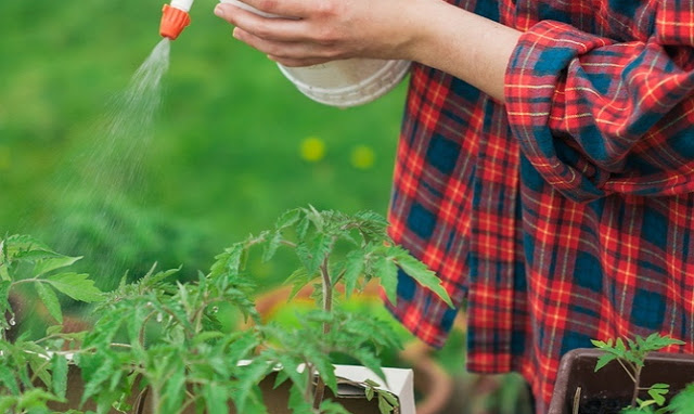 Обприскування рослин за допомогою пульверизатора