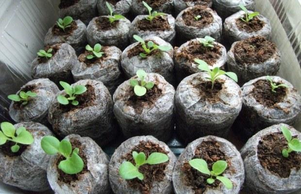Вирощування квітів у торф'яних таблетках - нюанси і секрети посадки