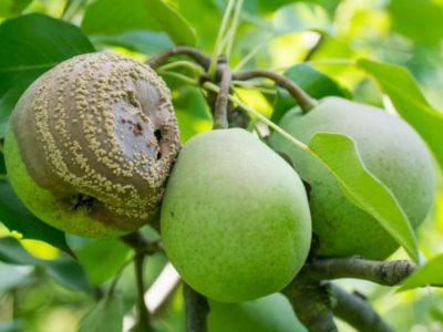 Причини гниття груш на дереві